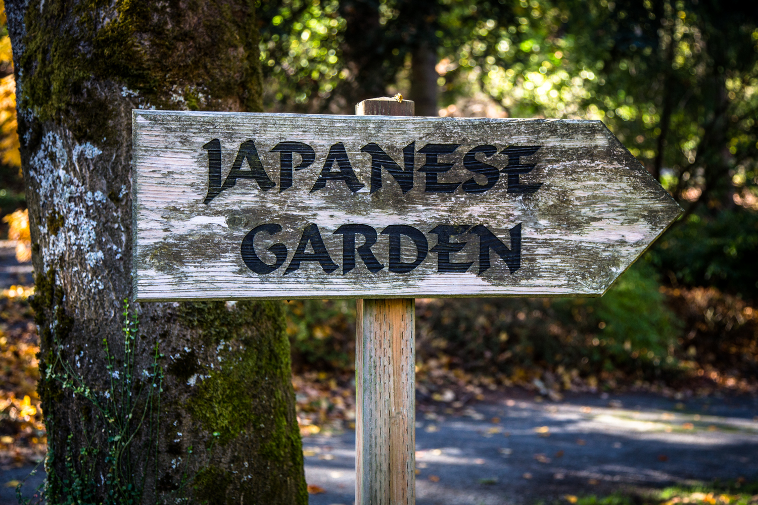 The Maple Leaves Are Changing At The Seattle Japanese Garden