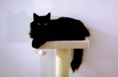 Fees for black cats waived for Black Friday at Seattle Humane