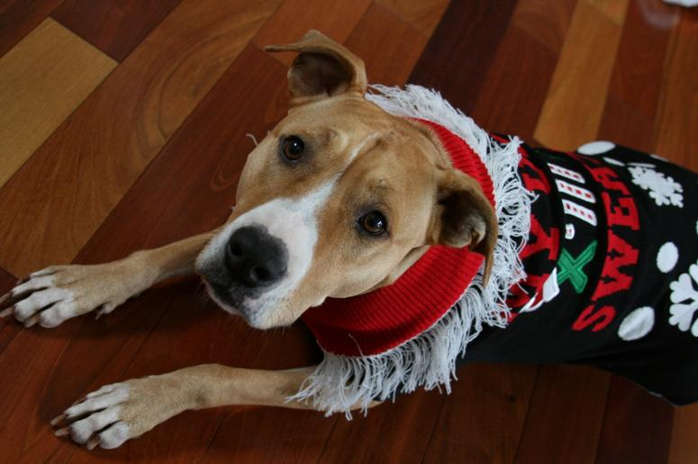 pit bull in a christmas sweater