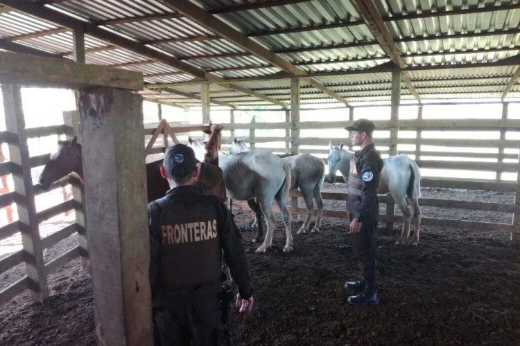 Los caballos decomisados en Los Chiles, Costa Rica, no son aptos para el consumo humano por sus condiciones insalubres, según la Policía de Fronteras. LAPRENSA/Cortesía
