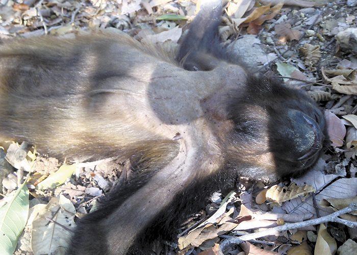 Resultado de imagen para monos aulladores muertos