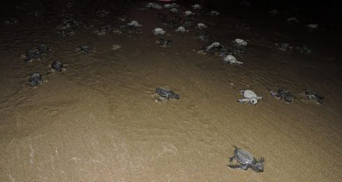 tortugas, Nicaragua, tortugas chacocente