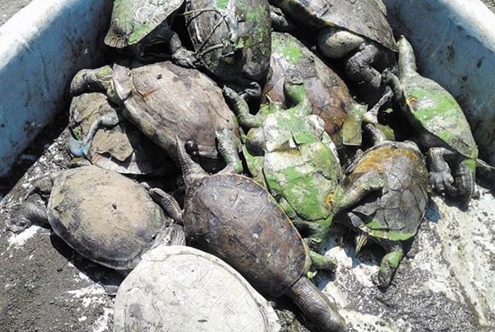 Más de 30 tortugas fueron encontradas muertas este sábado, durante una jornada de limpieza en la laguna de Tiscapa. la prensa/ cortesía