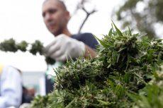 uso medicinal de la marihuana, marihuana, México