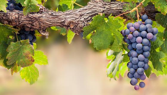 En Australia se cubren los viñedos con protectores solares para que no se arruguen ni se quemen, lea aquí esta y otras cosas que no sabías sobre las uvas