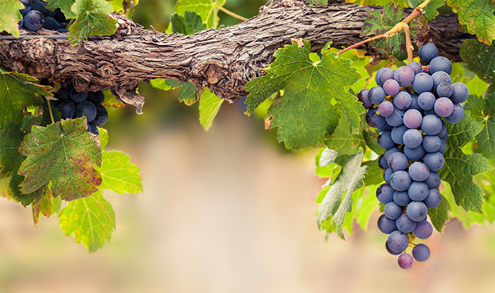 10 cosas que no sabías sobre las uvas - La Prensa