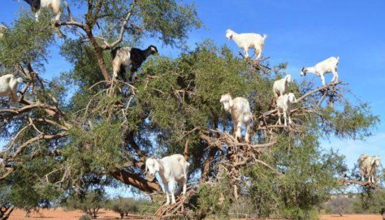 cabras, Marruecos
