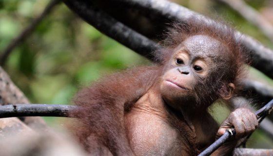 animales, animales en peligro de extinción, animales, orangutanes