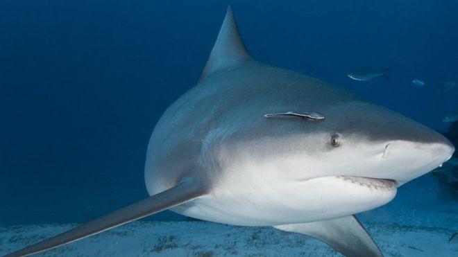 tiburón toro, tiburones, Nicaragua, lago de Nicaragua, lago cocibolca,