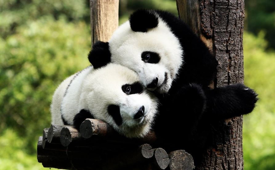 Giant pandas are no longer on the endangered list - The