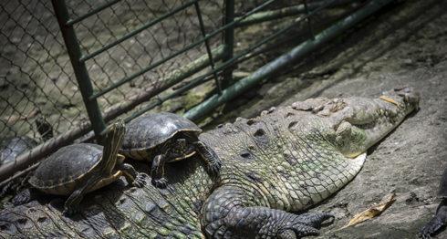 Según explican los guías las tortugas y cocodrilos han desarrollado una conexión de simbiosis y por eso es que pueden estar juntos. LA PRENSA/ ÓSCAR NAVARRETE