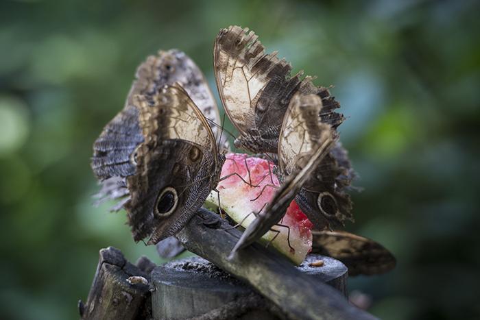 Una de las atracciones es el mariposario donde verá nueve tipos de mariposas. Oscar Navarrete/ LA PRENSA
