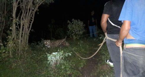 Estelí, jaguar