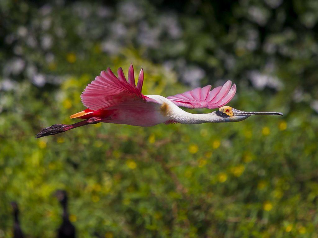 El primer lugar lo obtuvo Juan Manuel Argüello con la fotografía de una Espátula Rosada o Platalea. Él captó la imagen del ave cuando esta volaba en Solentiname, Río San Juan. Este tipo de ave es pariente de las garzas y llegan a medir 71 centímetros. Es común verlas en gran parte del continente americano.