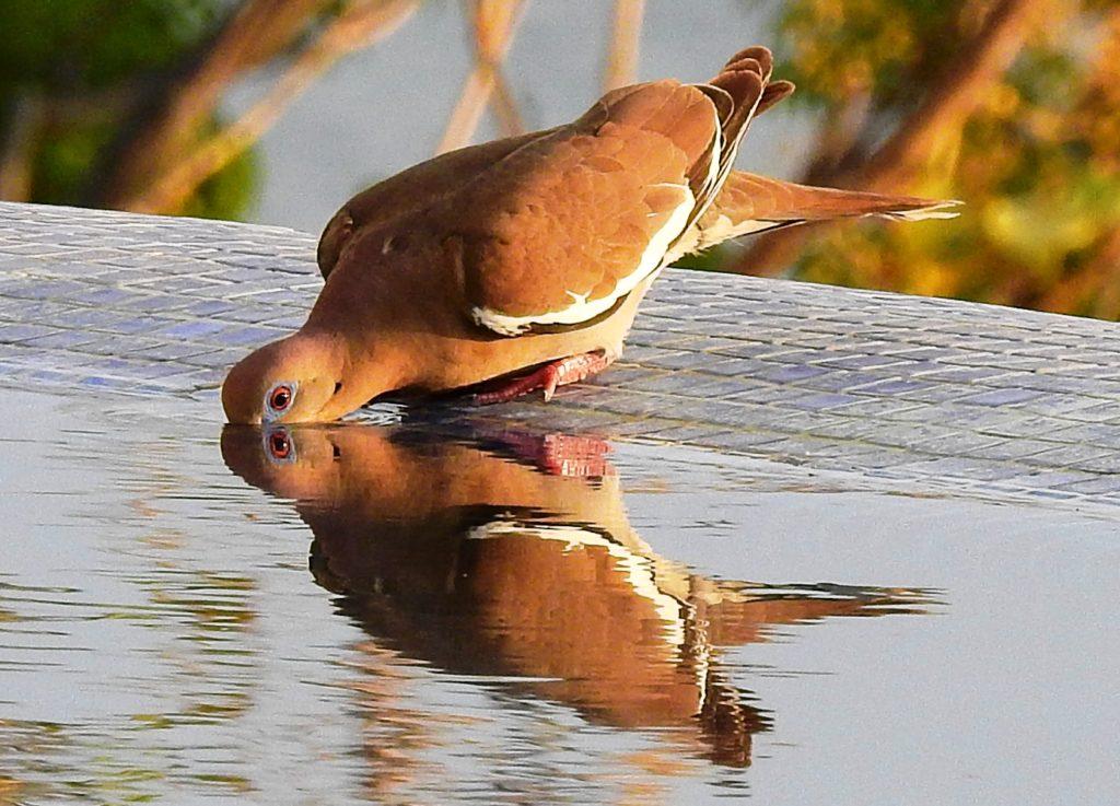 La fotografía que se llevó el segundo lugar fue la de una Zenaida Asiática, mejor conocida como Tórtola Aliblanca. Esta es un ave migratoria que se encuentra en Estados Unidos, México, América Central y el Caribe. La fotografía la tomó José Antonio Mántica en San Juan del Sur, Rivas, mientras el ave tomaba agua de un bebedero.