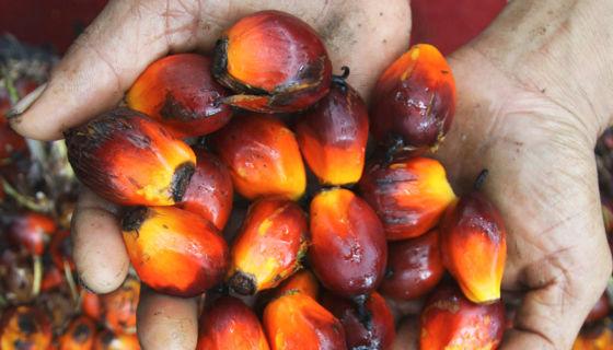 palma africana, aceite de palma africana