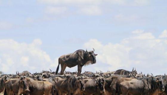 Jean-Jacques Alcalay capturó el instante en que este antílope de África parece estar viajando sobre uno de sus compañeros de manada. La imagen fue tomada en Masai Mara, Kenia. Foto: Jean-Jacques Alcalay.