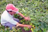 Novena de 12 razones por las que Nicaragua debe decir no a los cultivos transgénicos