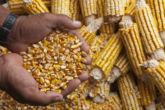 12 de 12 razones por las que Nicaragua debe decir no a los cultivos transgénicos