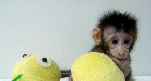 Monos clonados, monos, clonación de animales