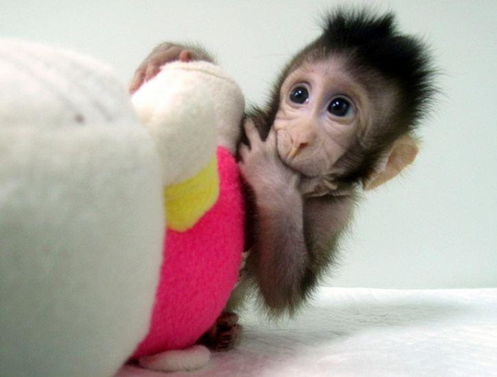 monos clonados, clonación, monos, animales clonados