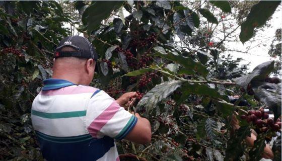 café, productores