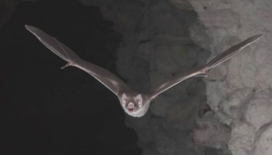 murciélagos, sangre