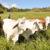 Exportación de ganado cae más de 50% por la crisis en Nicaragua