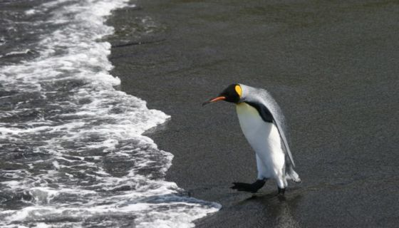 pingüinos rey, cambio climático, pingüinos