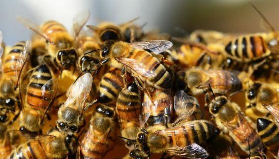 El ataque de abejas africanizadas puede ser mortal si el afectado es alérgico. LA PRENSA/ CORTESÍA