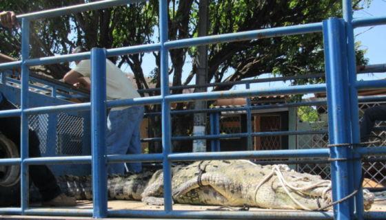 cocodrilo Juancho
