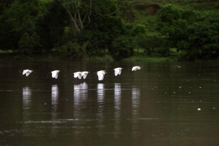 Un grupo de garzas sobrevuela la quietud del río San Juan. Es común contemplar el reflejo de las aguas que asemejan espejos gracias al calmadísimo caudal. LA PRENSA / Jader Flores