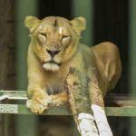 La afectación indirecta del Covid-19 a los animales del Zoológico Nacional. Administradores lanzan un SOS