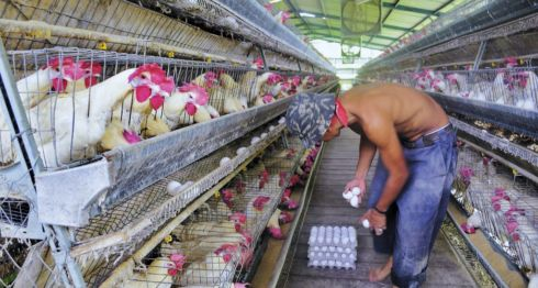Las empresas avícolas están siendo afectadas por la crisis en Nicaragua. LA PRENSA/ARCHIVO/ CARLOS MALESPÍN