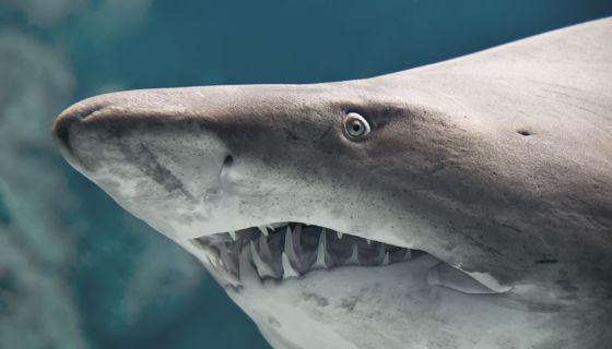 """Los tiburones de """"agua dulce"""" que se capturaban en el Lago Cocibolca eran de la especie Toro. LA PRENSA/ ARCHIVO"""