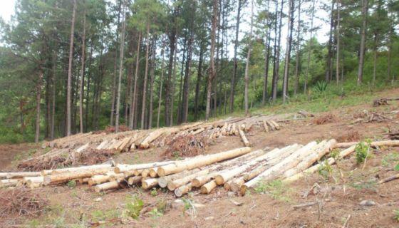 bosques de pino, despale