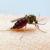 Alerta regional por fiebre del virus mayaro