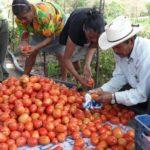 Hortalizas y legumbres en abundancia, pero comerciantes reportan pocas ventas en Madriz