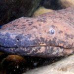 El «anfibio más grande del planeta» fue descubierto en un museo