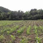 Reanudación de las lluvias dan paso a la siembra de postrera