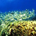 Cómo unos científicos lograron «resucitar» arrecifes de coral moribundos usando altavoces
