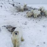 Cambio climático: cómo una manada de más de 50 osos polares flacos y hambrientos puso en alerta a una aldea de Rusia