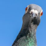 Qué tan cierto es que las palomas son «ratas con alas» que transmiten enfermedades