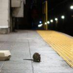 Cómo nuestra guerra contra los roedores urbanos puede estar creando una nueva especie: las superratas