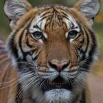 Un tigre de un zoológico de Nueva York da positivo por coronavirus