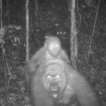 Las insólitas imágenes familiares del gorila más difícil de ver en el mundo