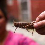 ¿Qué hace Centroamérica para frenar plaga de langostas que amenaza sus cultivos?