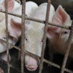 Gripe porcina en China | Alerta sin alarma: qué hacer frente al virus con «potencial pandémico» detectado en el país asiático