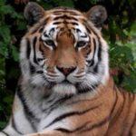 Un tigre mata a una cuidadora en un zoológico frente a un grupo de visitantes