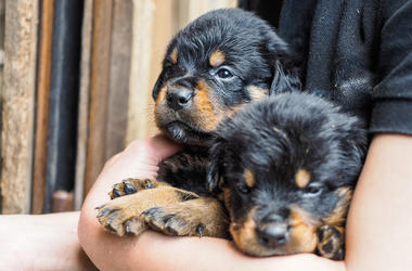 2 greasy haired Rottweiler puppies being held in the arms of a loving owner awaiting their food. One looking grumpy, the other watching for the next bite.